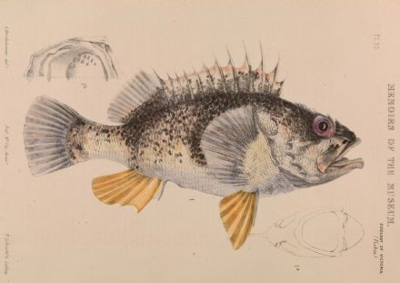 Bartholomew, Arthur: Ocean Perch, Helicolenus Percoides. Fine Art Print/Poster. Sizes: A4/A3/A2/A1 (004055)